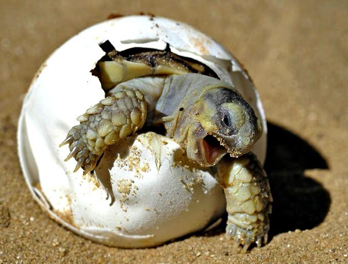 Vinculan a proceso a sujeto por posesión ilegal de huevos de tortuga